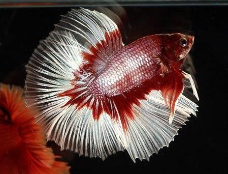 Ikan Cupang Red Dragon