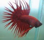 ikan cupang serit merah